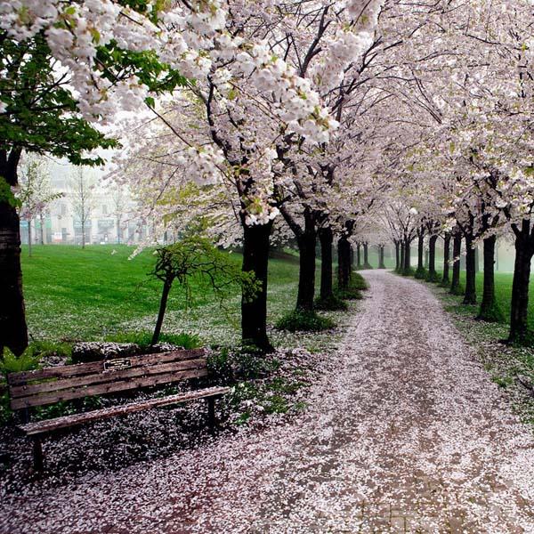 Cảnh đẹp hoa anh đào